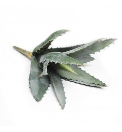 Aloe, single 25cm